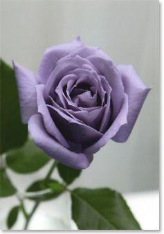 8882e79f92c6f6 Moje róże – moja pasja » Blog Archive » Niebieska róża – Niebieskie Róże