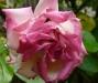 rose-gaujard-a