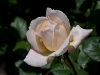crocus_rose1.jpg