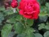alecs-red-1375