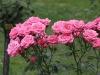 bella-rosa969