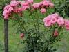 bella-rosa970