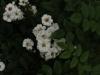 benets-seedling-1840-r-1099