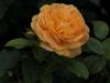 bernstein-rose-086