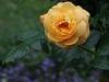 bernstein-rose-965