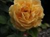 bernstein-rose087