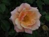 charming-rose-089