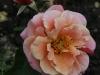 charming-rose090