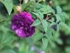 the-bischop-r-centifolia-1790