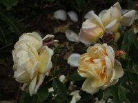 yellow-romantika-775