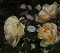 yellow-romantika-776