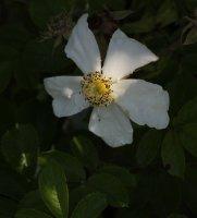 rosa-x-pauli-1903galicja-2011-501a