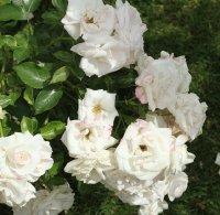 aspirin-rose-bagatelle-859