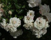 aspirin-rose-bagatelle-860