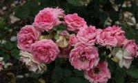 clos-fleuri-rose-bagatelle-366_0