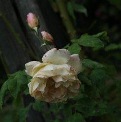 desprez-a-fleur-jaune-bagatelle-082