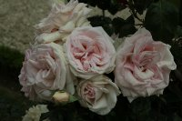 prince-jardinier-bagatelle-833