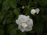 sanders-white-bagatelle-085