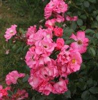 unicef-rose-bagatelle-228