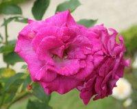 violette-parfumee-bagatelle-403