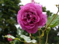 violette-parfumee-bagatelle-983