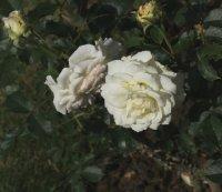 clos-fleuri-blanc284