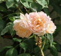 desprez-a-fleur-jaune-640