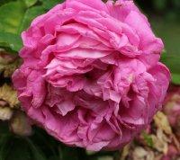 rosier-del-golea-649