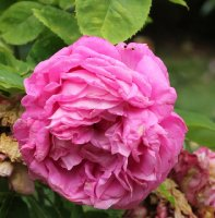 rosier-del-golea-650