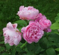 mary-rose112