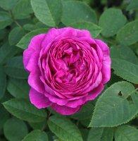 reine-viollettes-086