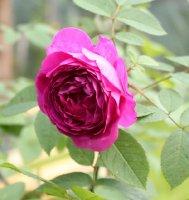 reine-viollettes-118