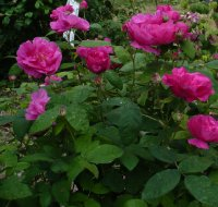 rosa-gallica-officinalis2