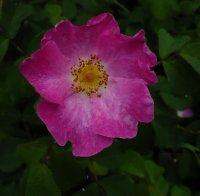rosa-gallica-officinalis3