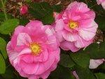 rosa_gallica_versicolor.jpg