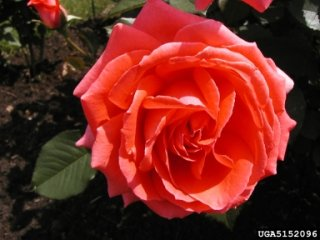 tournament-of-roses-the-dow-gardens-bugwoodorg.jpg