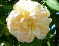 despres-a-fleur-jaune