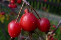 owoce-glauca.jpg