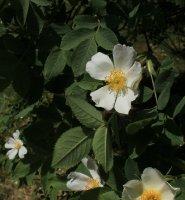 rosa-villosa-carpatia-jpg2_