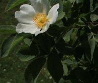 rosa-villosa-carpatia