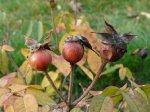 rosa-gallica-versicolor-pazdz-08.jpg