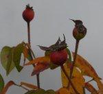 rosa-gallica-vesicolor-pazdziernik-08.jpg