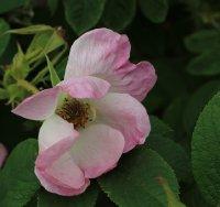 jablonovy-kvet-jpg2_