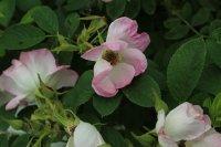 jablonovy-kvet