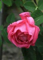 aurelia-lifa-jpg3_