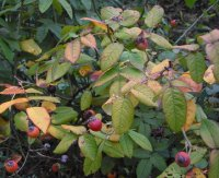 rosa-gallica-officinalis