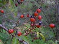 rosa-helenae-semiplena