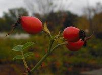 rosa-rubiginosa-2