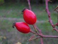 rosa-rubiginosa
