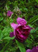 rosa-rugosa-kaiserin-des-nordens-3-06-2